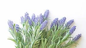 Lavendelfilial på en vit bakgrund Fotografering för Bildbyråer