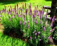 Lavendelflard royalty-vrije stock fotografie