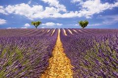 Lavendelgänge mit zwei Bäumen auf dem Horizont Lizenzfreie Stockfotografie