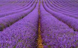 Lavendelgebied stock afbeeldingen