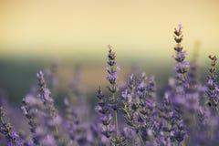 Lavendelgebied Stock Afbeelding