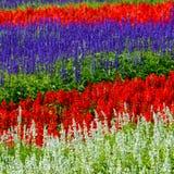 Lavendelgebied Royalty-vrije Stock Foto's