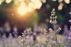 Lavendelgebied bij zonsondergang Royalty-vrije Stock Afbeelding