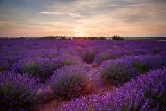 Lavendelgebied bij zonsondergang Royalty-vrije Stock Fotografie