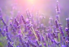 Lavendelgebied bij zonsondergang, de Provence, Frankrijk Stock Foto