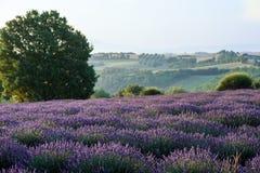 Lavendelgebied in de ochtend Royalty-vrije Stock Foto