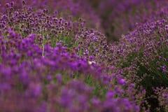 Lavendelgebied in de Provence, Bloeiende Violette geurige lavendelbloemen Het kweken van lavendel die op wind over zonsondergangh stock afbeelding