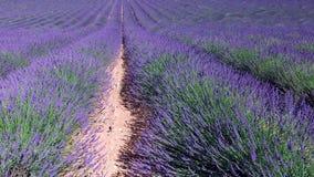 Lavendelgebied in de Provence, dichtbij Valensole, Frankrijk stock footage