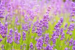 Lavendelgebied in de zomer Royalty-vrije Stock Fotografie