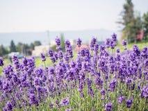 Lavendelgebied in de zomer Hokkaido Stock Foto's