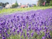 Lavendelgebied in de zomer Hokkaido Royalty-vrije Stock Afbeeldingen