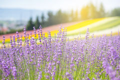 Lavendelgebied in de zomer Hokkaido Royalty-vrije Stock Afbeelding