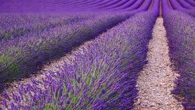 Lavendelgebied in de zomer in Valensole stock video