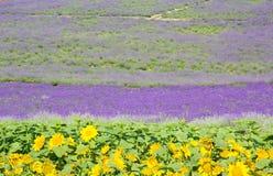 Lavendelgebied in de zomer van Japan Royalty-vrije Stock Foto's
