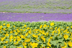 Lavendelgebied in de zomer van Japan Stock Afbeeldingen