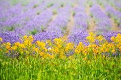 Lavendelgebied in de zomer van Japan Royalty-vrije Stock Afbeelding