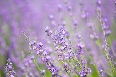 Lavendelgebied in de zomer van Japan Royalty-vrije Stock Fotografie