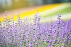 Lavendelgebied in de zomer van Japan Royalty-vrije Stock Afbeeldingen