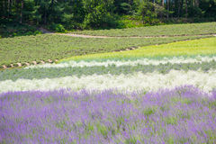 Lavendelgebied in de zomer van Japan Stock Foto