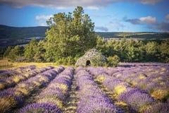 Lavendelgebied en boom in de Provence Stock Foto