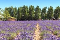 Lavendelgebied in Furano, Hokkaido met sommige toeristen die langs op de achtergrond lopen Royalty-vrije Stock Afbeeldingen