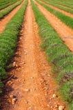 Lavendelgebied het oogsten dichtbij Valensole in de Provence royalty-vrije stock afbeelding