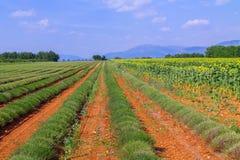 Lavendelgebied het oogsten dichtbij Valensole in de Provence stock fotografie