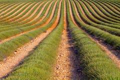 Lavendelgebied het oogsten dichtbij Valensole in de Provence stock foto's