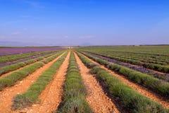 Lavendelgebied het oogsten dichtbij Valensole in de Provence royalty-vrije stock foto