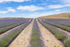 Lavendelgebied in Mackenzie District, het Zuideneiland Nieuw Zeeland Stock Foto's