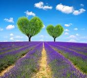 Lavendelgebied met boom in de vorm van hart royalty-vrije stock fotografie