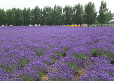 Lavendelgebied met Pijnboombomen in Hokkaido, Japan Stock Afbeelding