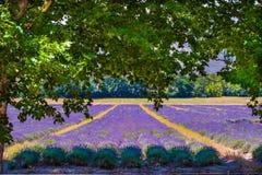 Lavendelgebied onder de eiken Stock Afbeelding