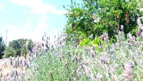Lavendelgebied onder de zonneschijn stock video