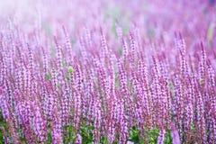 Lavendelgebied in zonlicht Royalty-vrije Stock Afbeelding