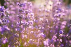 Lavendelgebied in zonsondergang Royalty-vrije Stock Foto's