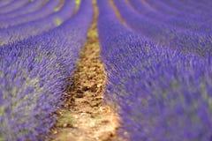 Lavendelgebieden Stock Afbeelding