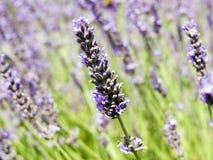 Lavendelgebieden Stock Fotografie