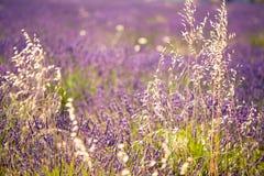 Lavendelgebieden in bloei stock afbeelding