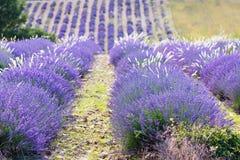 Lavendelgebieden dichtbij Valensole in de Provence, Frankrijk Stock Foto's