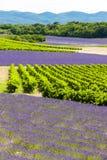 Lavendelgebieden met wijngaarden Stock Foto
