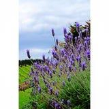 Lavendelgebieden in Nieuw Zeeland Stock Afbeelding