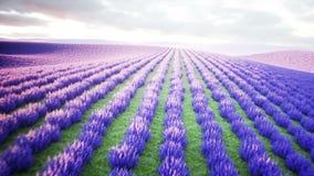 Lavendelgebieden Wonderfullzonsopgang Realistische 4K animatie stock videobeelden