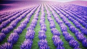 Lavendelgebieden Wonderfullzonsopgang Realistische 4K animatie stock video