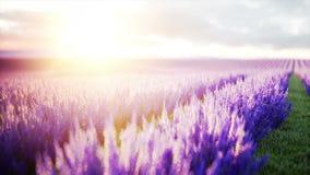 Lavendelgebieden Wonderfullzonsopgang Realistische 4K animatie stock footage