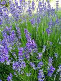 LavendelGemüsegarten stockfotografie