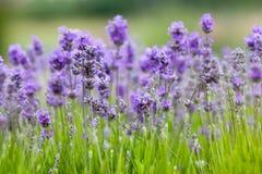 Lavendelhintergrund Lizenzfreies Stockbild