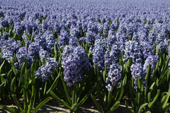 Lavendelhyacintfält arkivbild