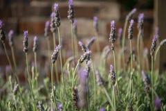 Lavendelinstallatie stock foto's