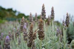 Lavendelinstallatie Royalty-vrije Stock Fotografie